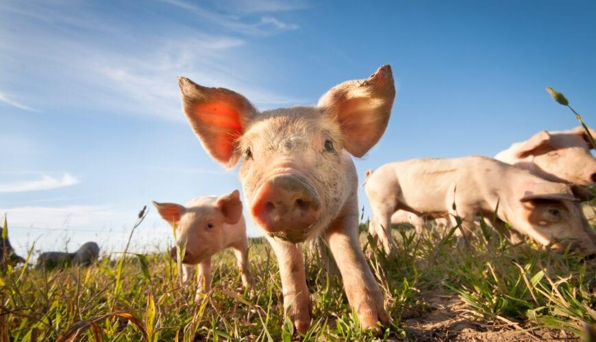 De echte reden waarom ik geen varkensvlees eet